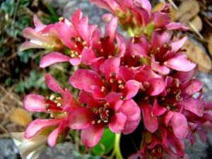 Bergenia in flowering in GHNP