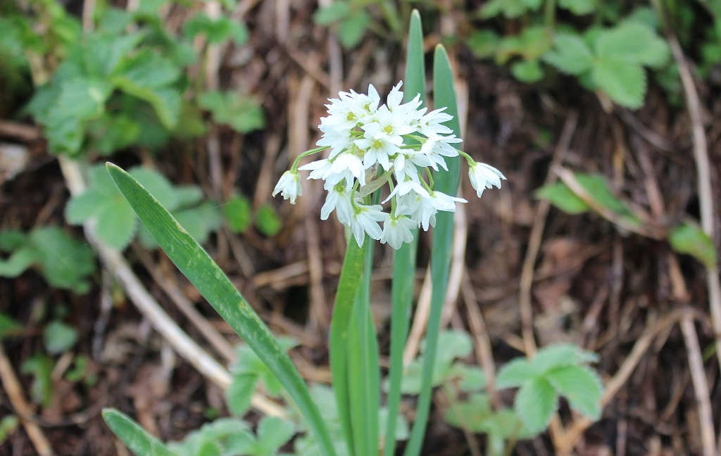 Allium humile (Click to enlarge)