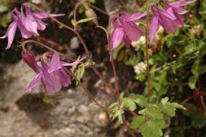 Aquilega pubiflora