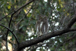 Asian Barred Owlet (click to enlarge)