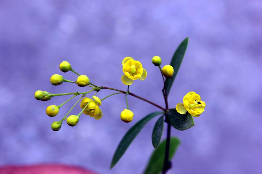 Berberis lyceum - Kashmal (Click to enlarge)