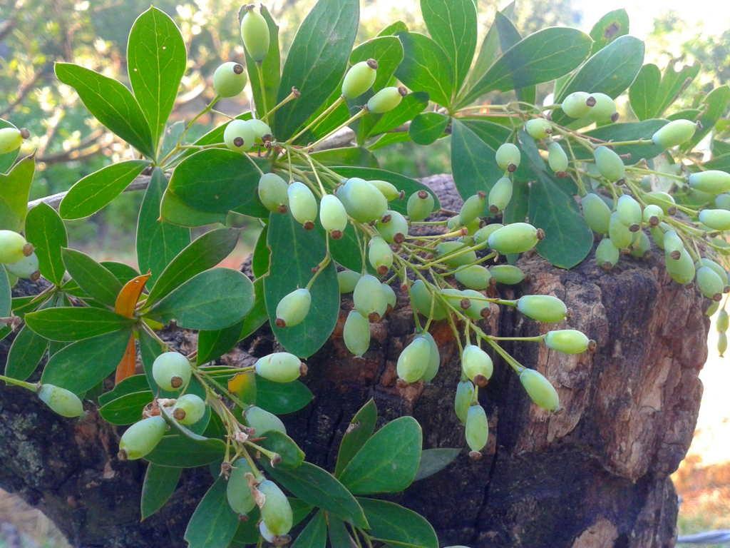 Berberis Lycium - Kashmal (Click to enlarge)