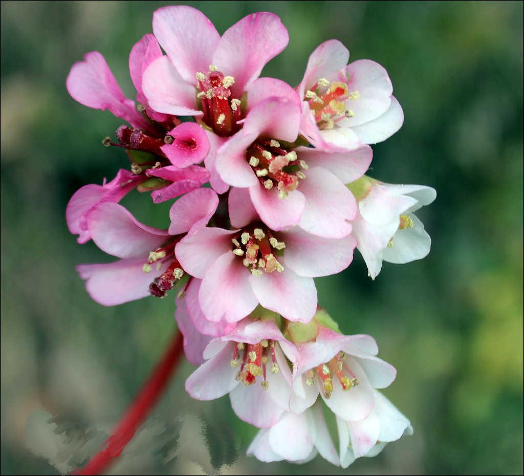 Bergenia ciliata - Paatherchatta ( Click to enlarge)