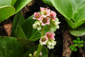 Bergenia stracheyi (Click to enlarge)