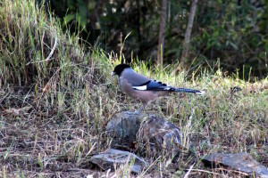 Black-headed Jay (click to enlarge)