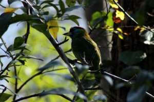 Megalaima asiatica - Blue- throated Barbet (click to enlarge)