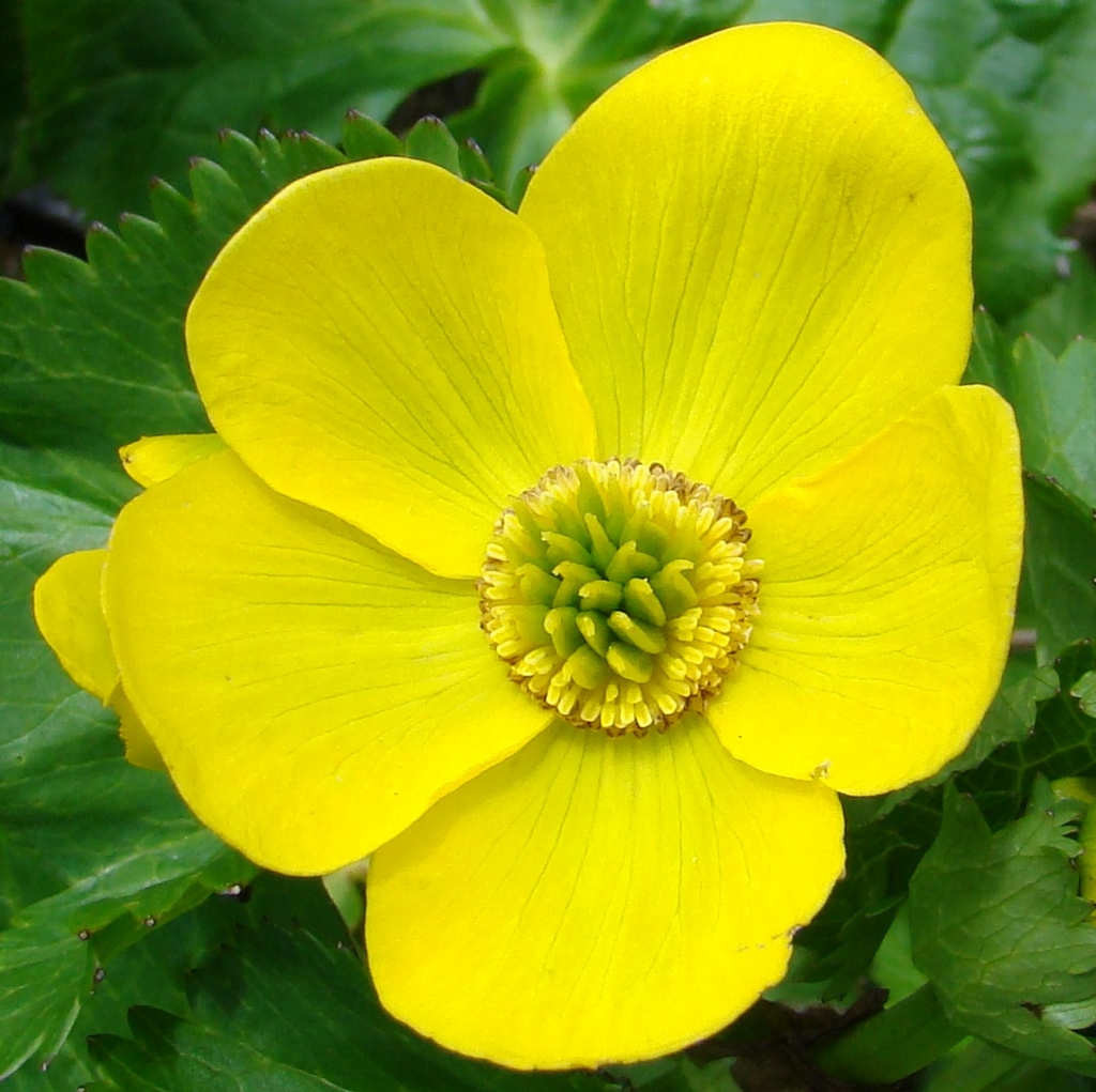 Caltha palustris (click to enlarge)