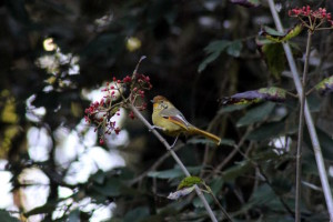 Chestnut-tailed Minla(click to enlarge)