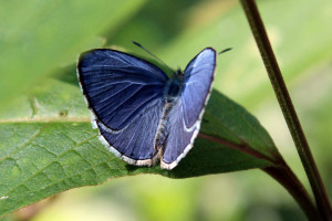 Common Hedge Blue (click to enlarge)