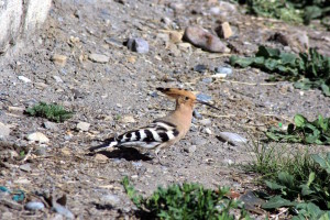 Common Hoopoe (click to enlarge)