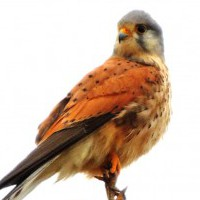 Falco tinnunculus - Common kestrel (click to enlarge)