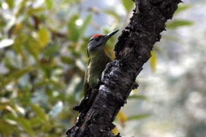 Grey-headed Woodpecker (click to enlarge)
