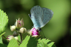 Himalayan Pale Hedge Blue (click to enlarge)