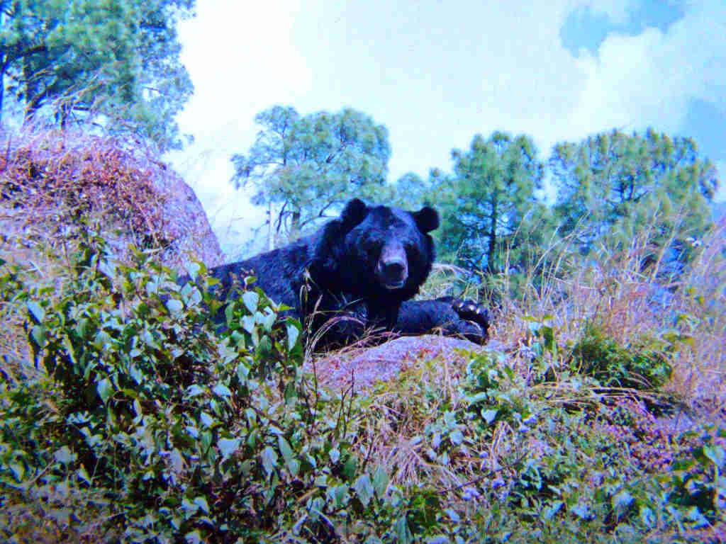 Ursus thibetanus - Himalayan black bear in GHNP ( Click to enlarge)