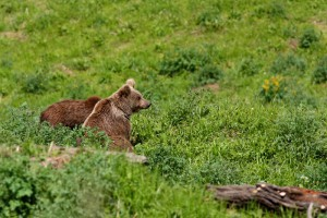 Ursus arctos  - Himalayan brown bear