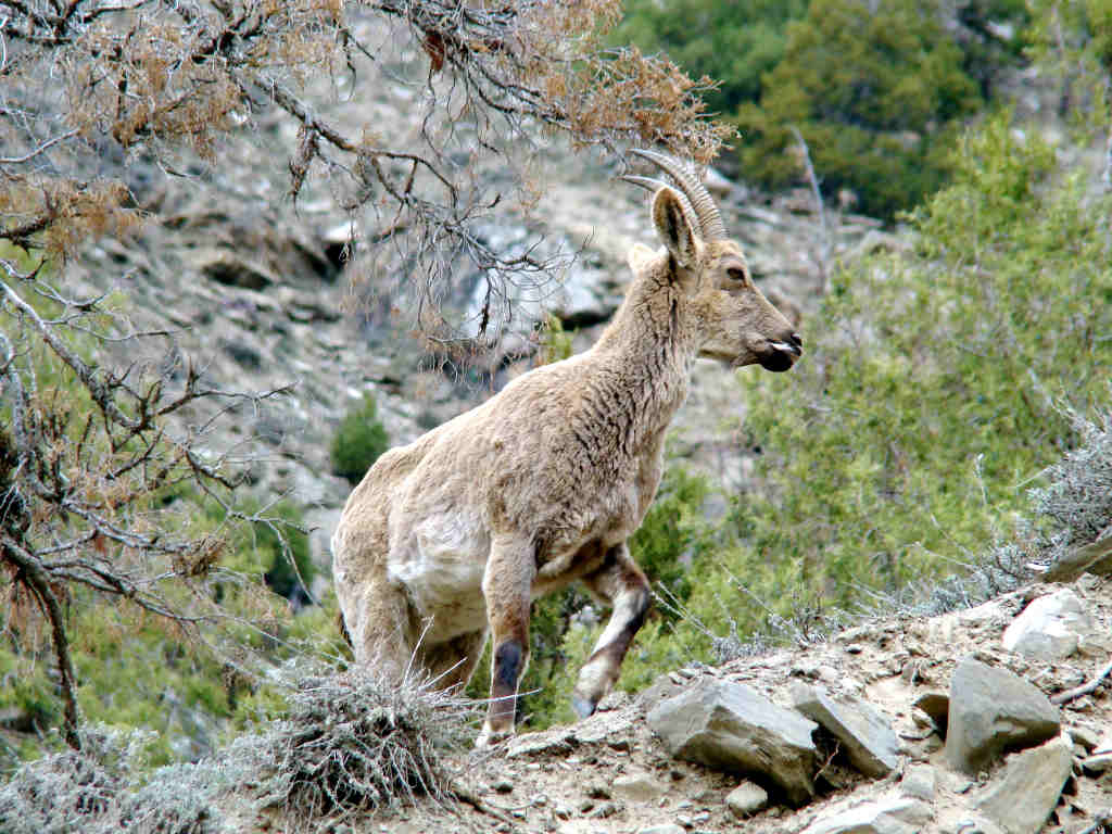 Himalayan ibex - photo#10