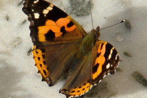 Indian Red Admiral (click to enlarge)