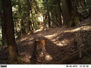 Leopard captured during day time in GHNP (click to enlarge)