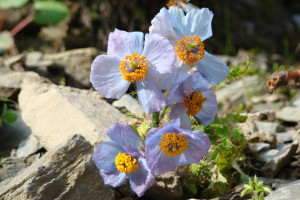 Meconopsis aculeata - Poppy ( Click to enlarge)