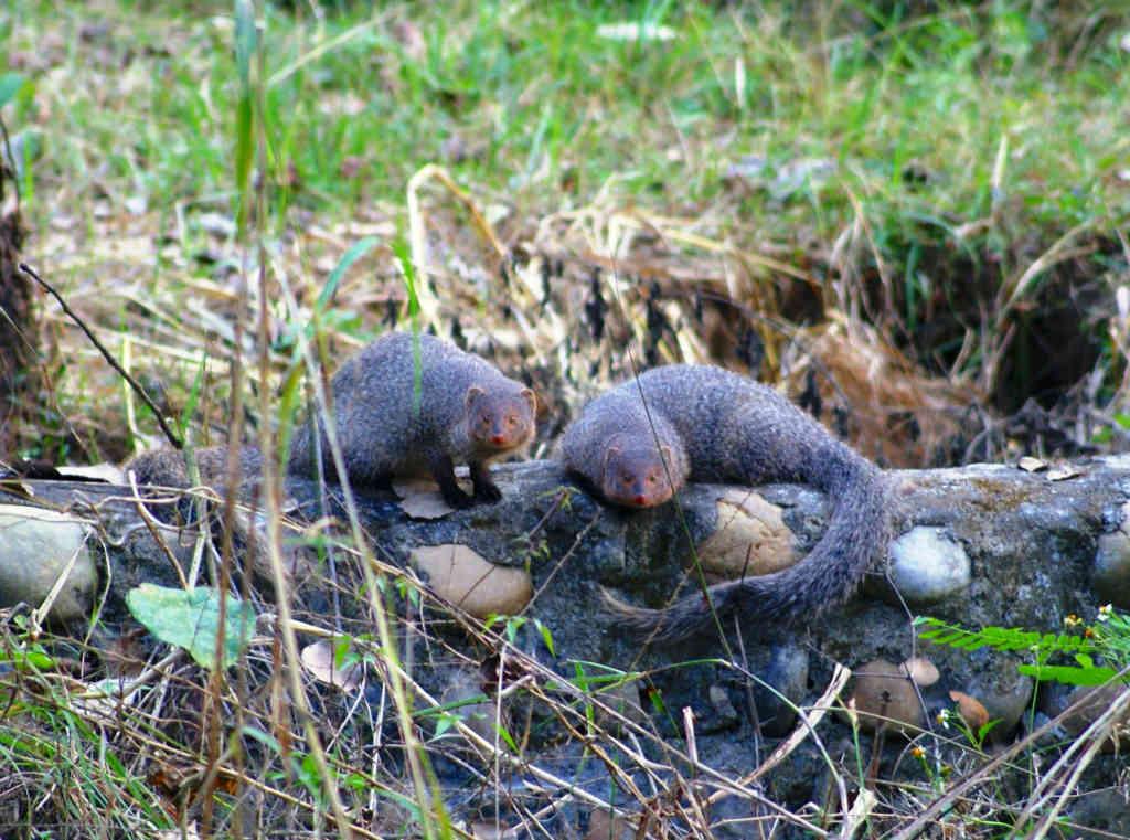 Herpestes edwardsii - Mongoose