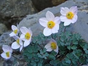 Paraqulegia microphylla