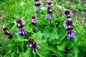 Purple Jerusalem Sage (click to enlarge)