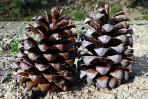 Pinus roxburghii (Click to enlarge)