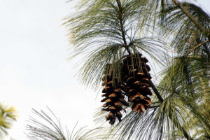 Pinus wallichaina (Click to enlarge)
