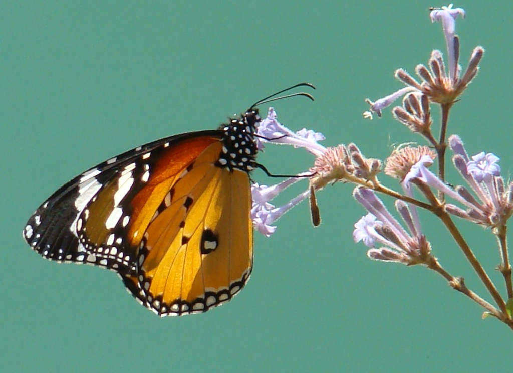 Danaus chrysippus - Plain tiger butterfly (click to enlarge)