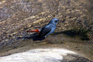 Plumbeous water Redstart (click to enlarge)