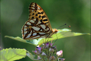 Queen of Spain Fritillary (click to enlarge)