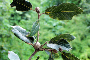 Quercus leucotrichophora - Kharsu oak ( Click to enlarge)