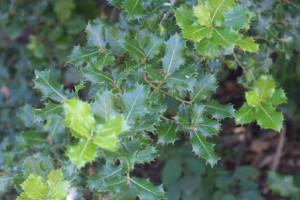 Quercus-semecarpifolia - Kharsu (Click to enlarge)