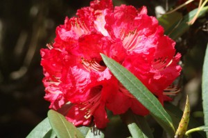 Barbed-Stalk Rhododendron (click to enlarge)