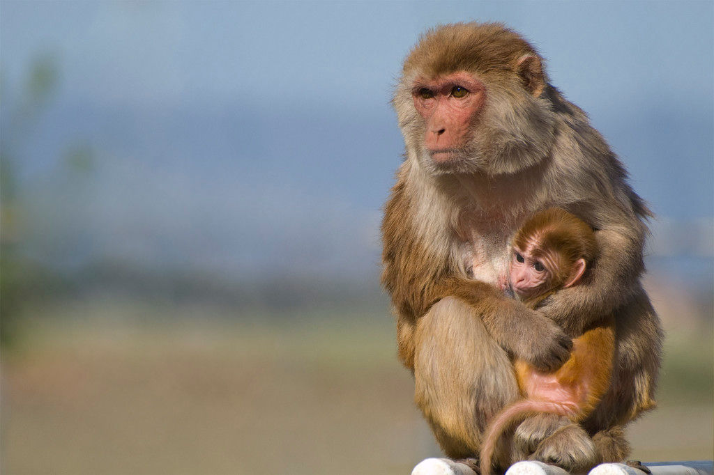 Rhesus macaque (click to enlarge)
