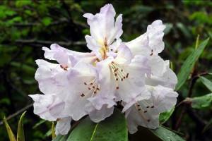 Rhododendron companulatum