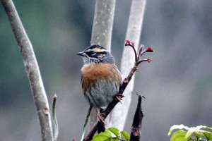 Rufous -breasted Accentor (click to enlarge)