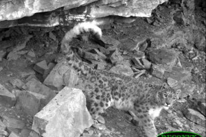 Snow leopard ( Click to enlarge)