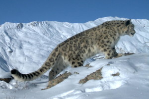 Elusive snow leopard ( Click to enlarge)