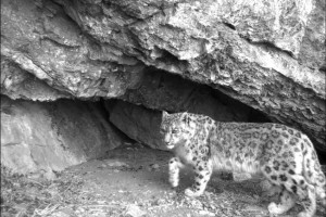 Snow leopard ( Click to the enlarge)