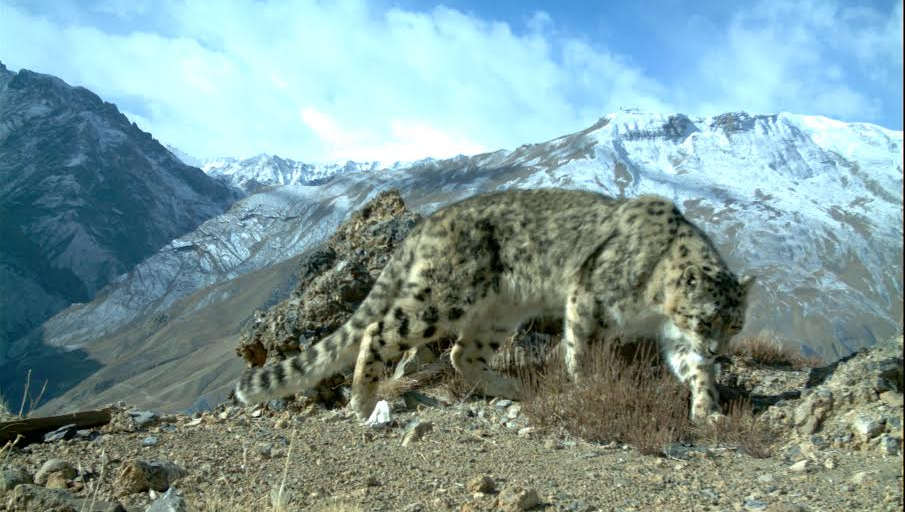 Panthera  uncial  - Snow leopard captured by camera trap ( Click to enlarge)