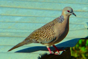 Streptopelia chinensis - Spotted Dove (click to enlarge)