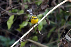 Yellow-bellied fantail (click to enlarge)