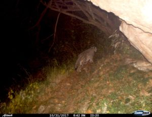 Snow Leopard picture captured by trap camera in GHNP October 2017