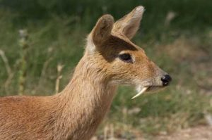 The presence of the rare species of deer in the Great Himalayan National Park is a good sign, say experts.