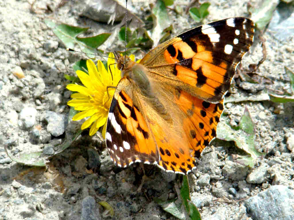 Painted Lady.1024