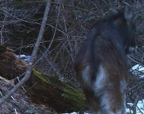 Serow in GHNP